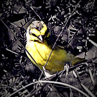 tisserin jaune 2