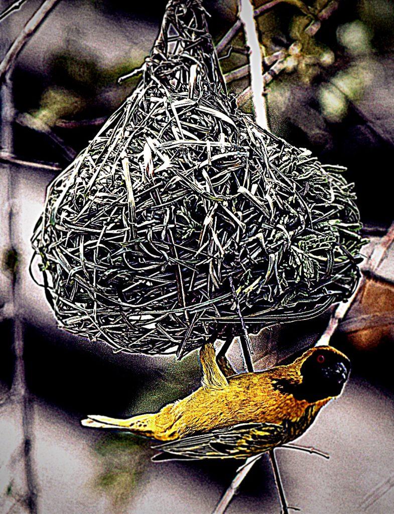 tisserin suspendu à son nid