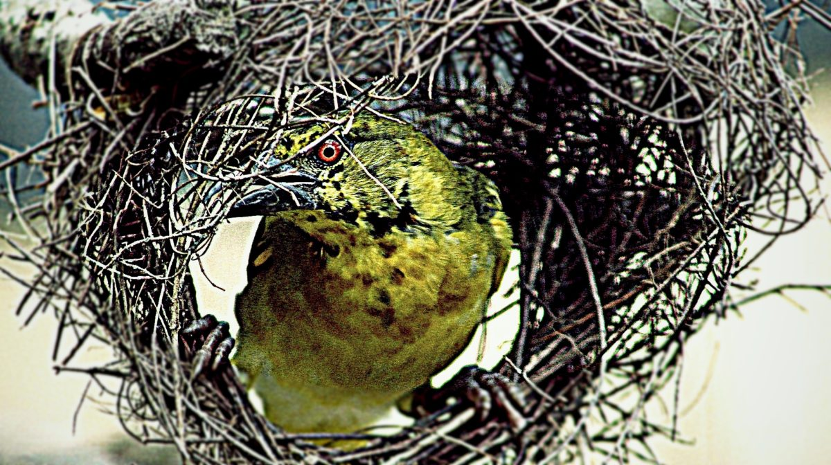 tisserin dans son nid